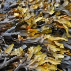Boeren met zeewier: zeewierproducten uit de zeewierbranche