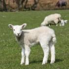 Offerfeesten en weerstand tegen ritueel slachten van schapen