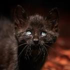 De Zwarte kat: vereerd en verguisd